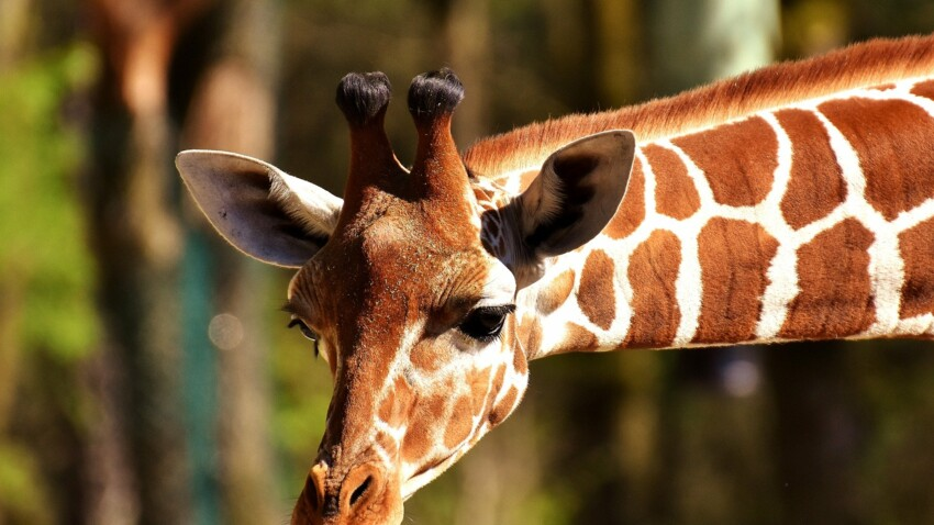Zarafa, la girafe de Charles X