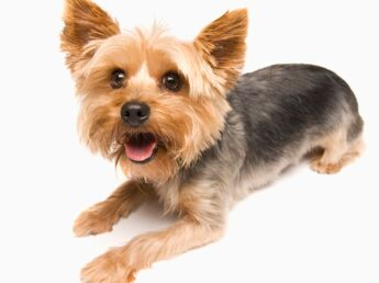 Le yorkshire : un chien très populaire