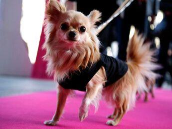 Le chihuahua : le plus petit chien du monde