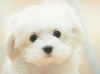 Le bichon maltais : un chien blanc comme neige