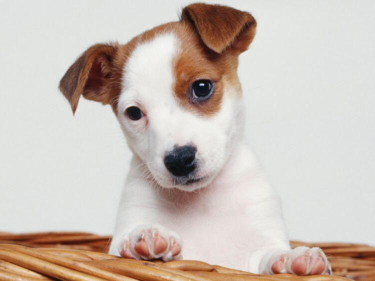 Le Jack Russel Terrier : Un Petit Chien Très Actif