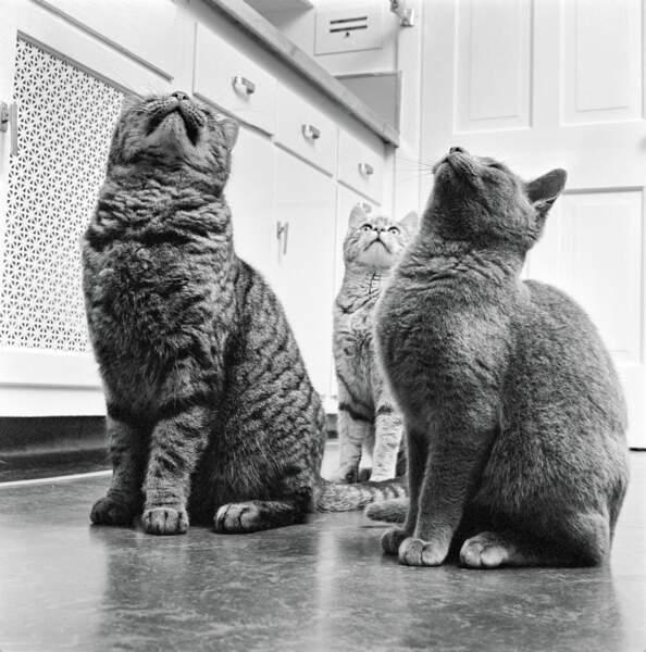 Deux chats passionnés par le déclic d'un ouvre-boîte
