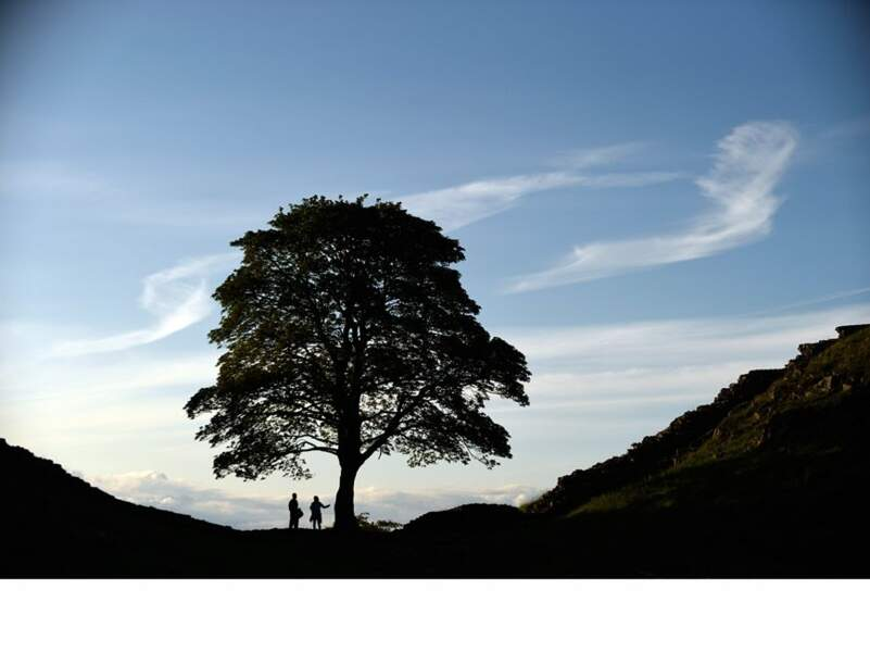 Angleterre : le sycomore, l'arbre le plus photographié de l'ensemble du parc national de Northumberland