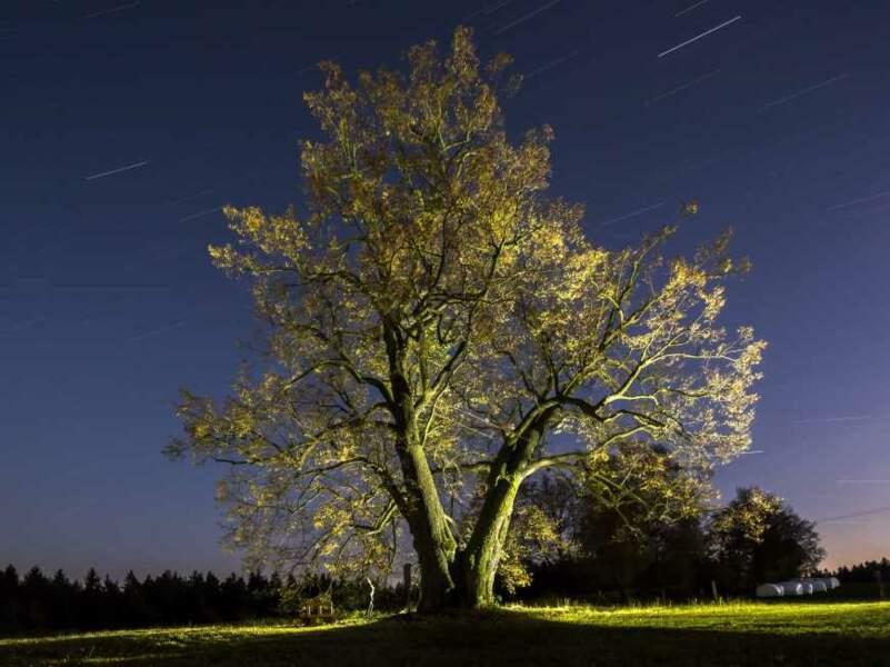 République Tchèque : le Tilleul de Lipka, l'arbre de l'amour éternel
