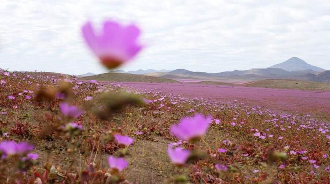 Plus de 200 espèces de fleurs tapissent une grande partie des 100 000 km² du désert