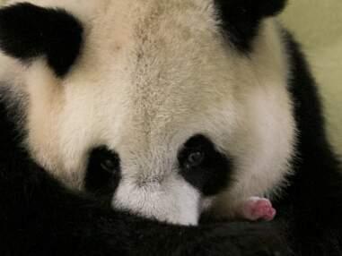 Le panda Yuan Meng : retour sur ses deux ans au ZooParc de Beauval