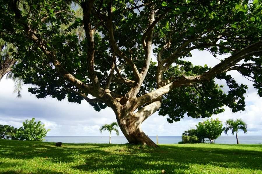 LE RAISIN DE MER de La Réunion