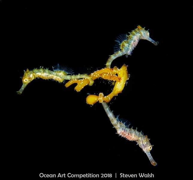 A l'oeil nu, ces gracieux hippocampes sont vraiment minuscules