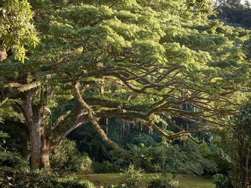 France : le zamana du parc de l'Habitation Céron, un arbre protecteur qui brave les éléments