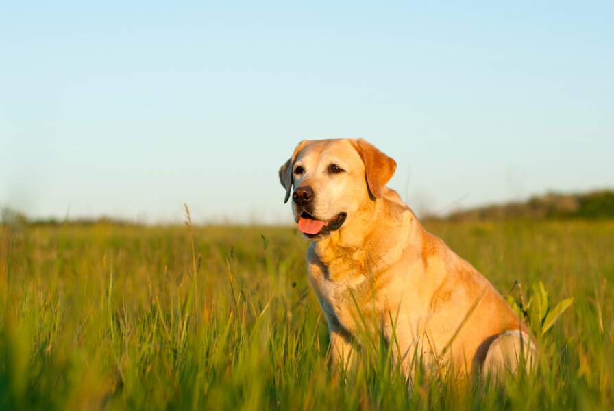 7. Le labrador retriever