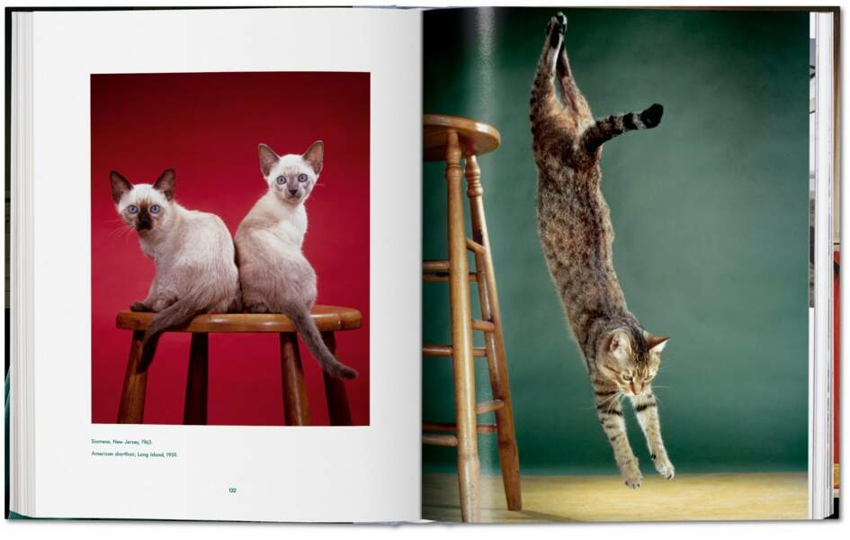 Deux chats siamois et un shorthair américain