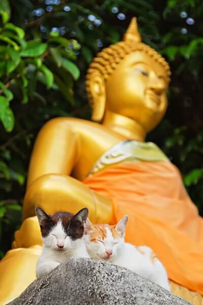 Chat en Thaïlande les nouveaux gardiens du temple