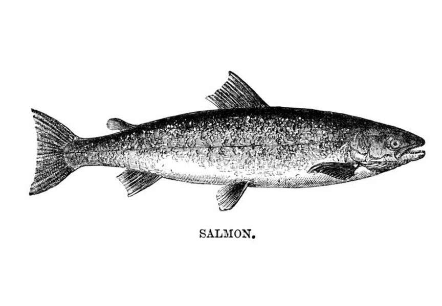 Jolie gravure de saumon