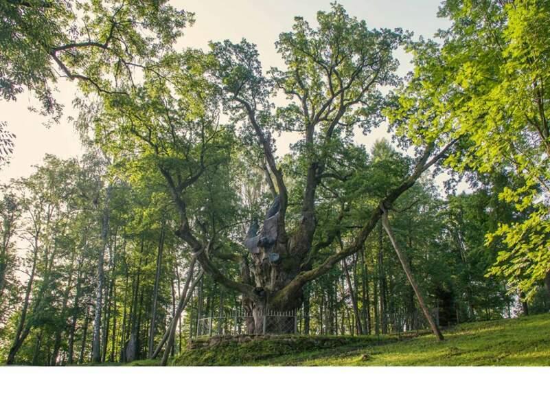 Lituanie : le chêne de Stelmužė, l'un des arbres les plus anciens d'Europe