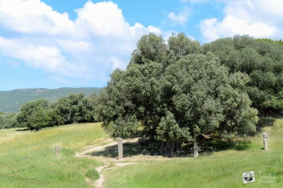 L'OLIVIER DE FILITOSA en Corse