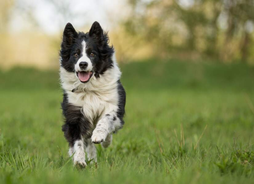 1. Le border collie