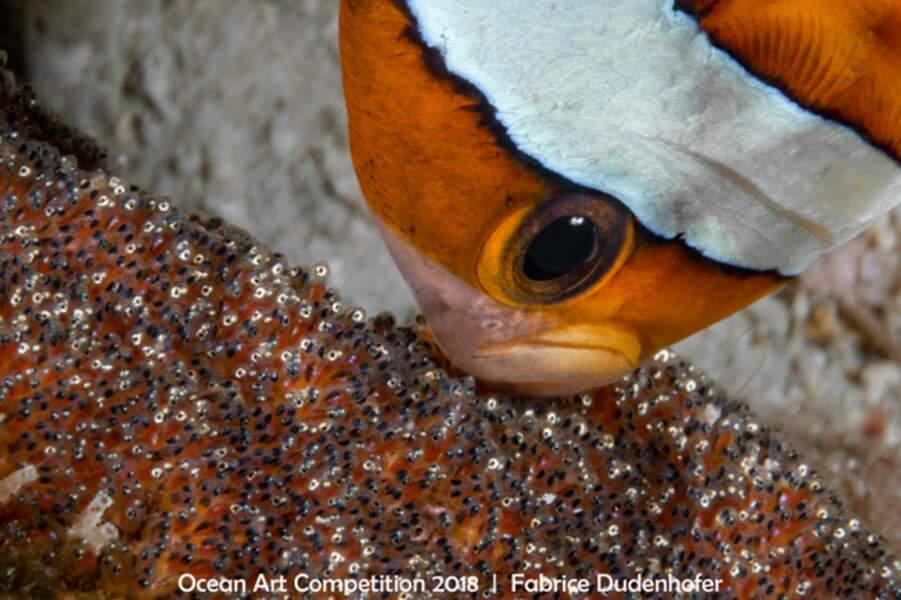 Comme dans Nemo, ce poisson clown prend soin de sa progéniture nichée dans une anémone de mer