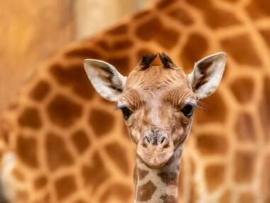 Naissance d'un bébé girafe en France
