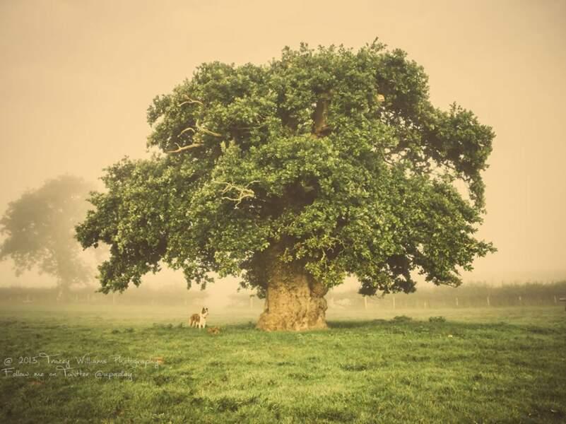 Pays de Galle : le Chêne de Brimmon, sauvé par une pétition de 5000 signatures