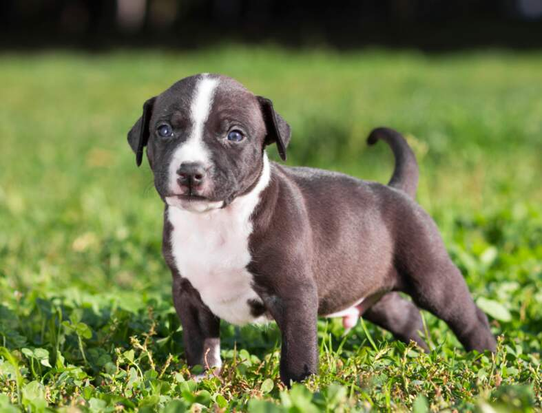 L'American Staffordshire terrier