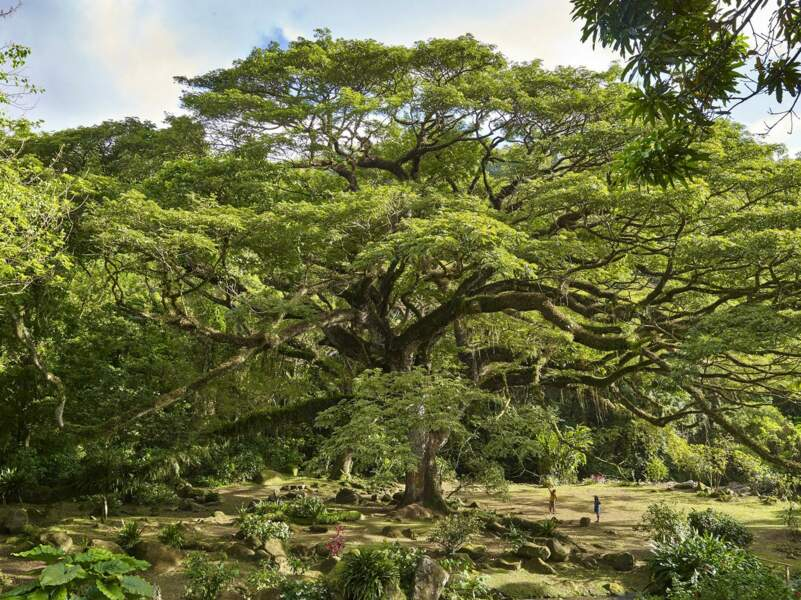 LE SAMANEA SAMAN MIMOSACÉES en Martinique