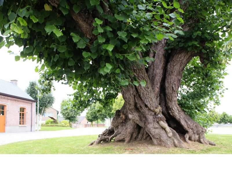 Belgique : le Tilleul de Massemen, meilleur ami du village depuis 400 ans