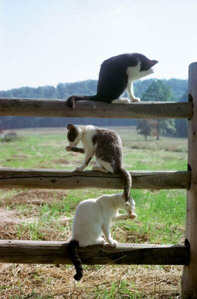 Trois chats du New Jersey