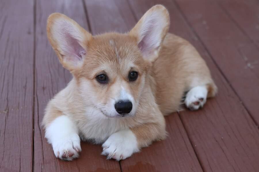 Le chien-renard