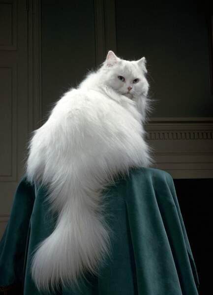 Un chat persan