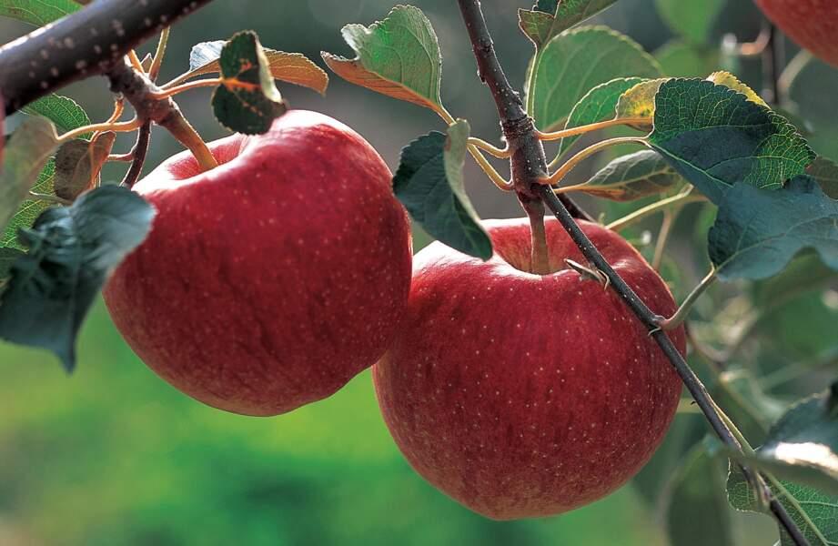 Fruit minceur : la pomme 50 kcal pour 100g