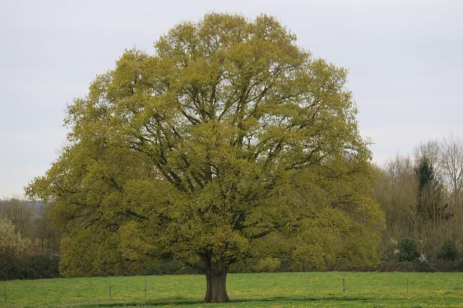 LE CHÊNE PÉDONCULÉ en Pays de la Loire