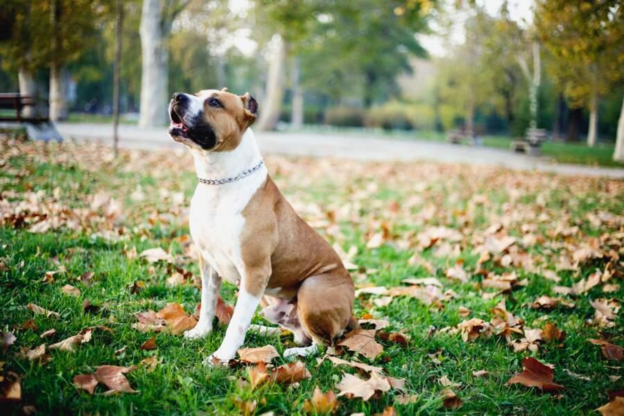 6. Staffordshire terrier américain