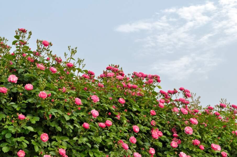 Le rosier grimpant