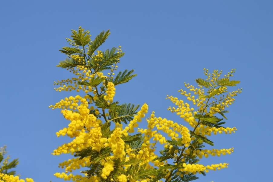 Le mimosa pour le Capricorne du deuxième décan
