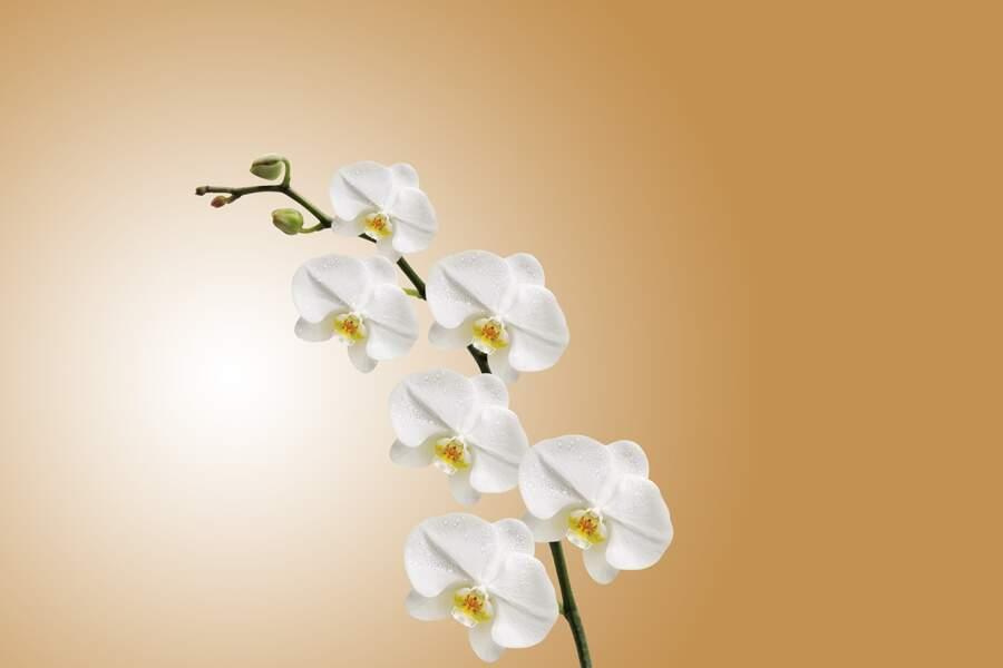 L'orchidée pour le Scorpion du troisième décan