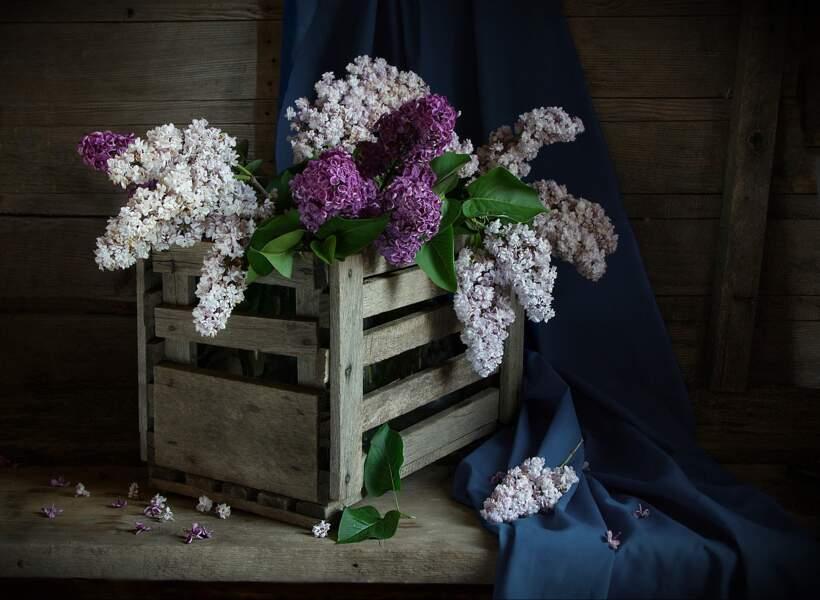 Le lilas pour le Taureau du premier décan