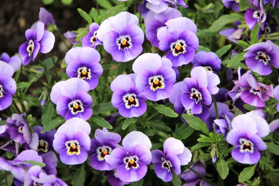La violette pour le Cancer du troisième décan