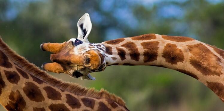 Les girafes sortent de leur silence