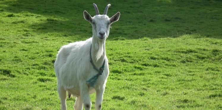 Une mésaventure à vous rendre chèvre et autres infos inutiles mais rigolotes