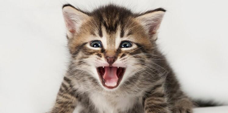 Chat ch'ti, chat bougnat... les félins ont-ils un accent ?