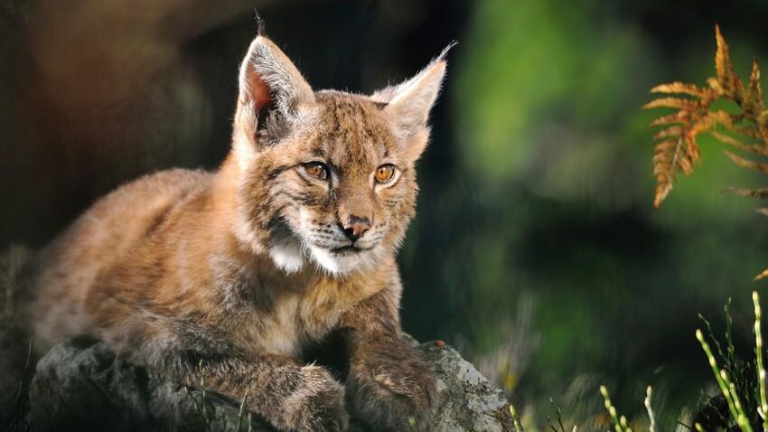 SOS lynx en danger ?
