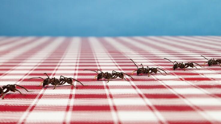 5 astuces naturelles pour en finir avec les fourmis