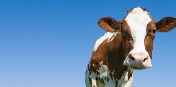 Cartilage de vache : un effet boeuf contre l'arthrose ?