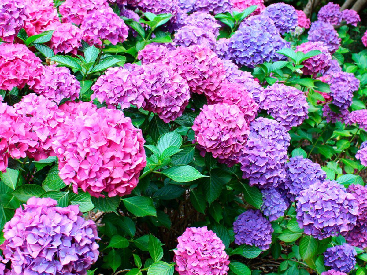 Quelles Fleurs Planter Fin Aout 5 astuces pour avoir des hortensias magnifiques ! : femme