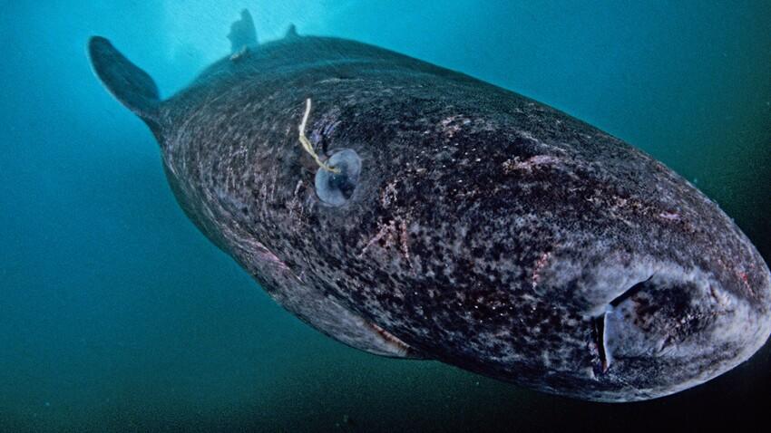 Vieux comme un requin du Groenland...