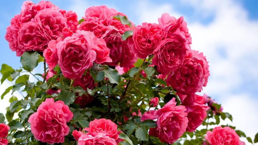 Bien entretenir ses rosiers