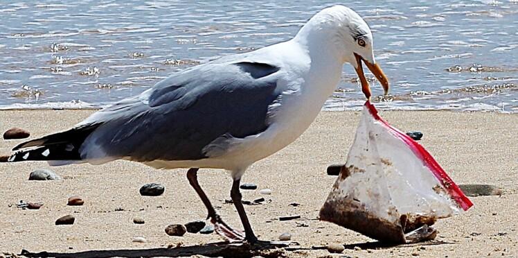 Plastique : les oiseaux piégés par l'odeur