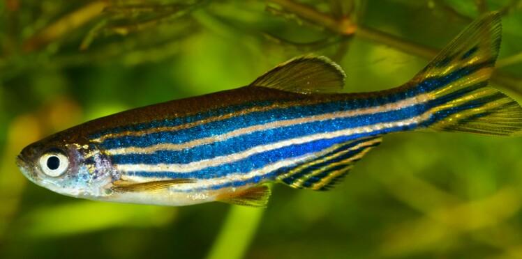 Connaissez-vous l'extraordinaire pouvoir du poisson zèbre ?