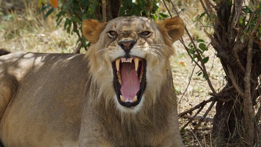 Les lions mangeurs d'hommes avaient une rage… de dents !
