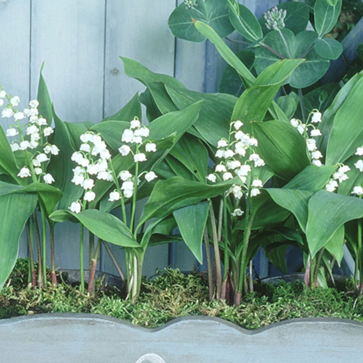 Comment Planter Du Muguet comment replanter du muguet en pot ? : femme actuelle le mag